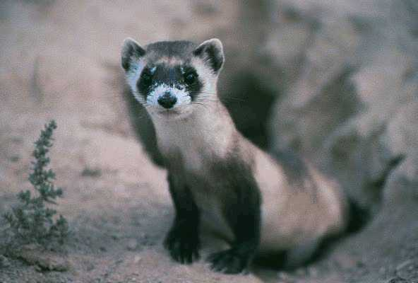 black_footed_ferret_from_fish_and_wildlife_service.jpg