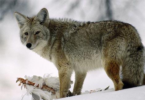 coyote-glancing.jpg