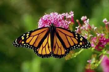 monarch2[1].jpg