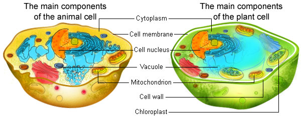 Keywords:animal cells, plant cells and basic cell parts