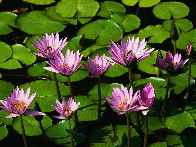 water_lilies.jpg