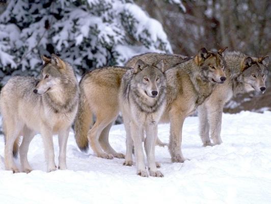 winter_wolf(2).jpg
