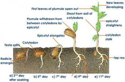 Seed And Germination