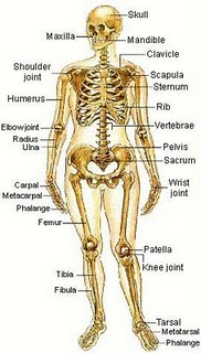 Human Body - Skeletal System