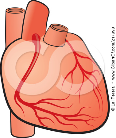 Circulatory System And Heart