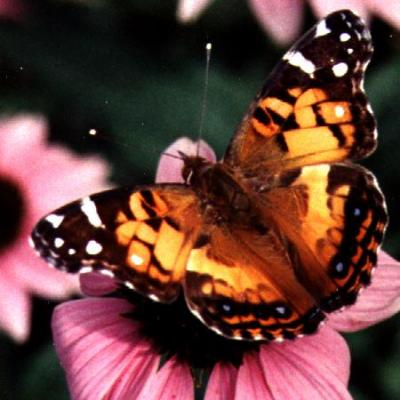 The Life Of A Painted Lady Butterfly