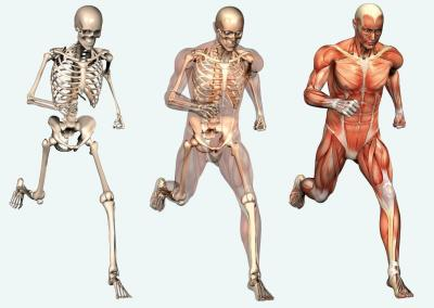 Muscle And Skeletal Anatomy