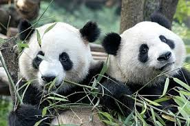 How Much Do You Know About Pandas?