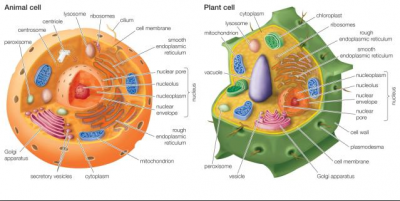 Eukaryotic Cell Organelle Adventure
