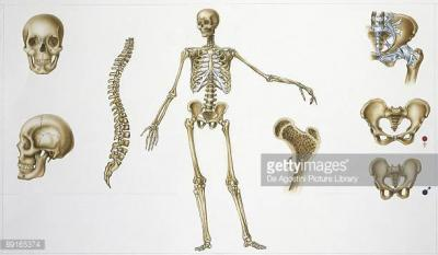 The Human Skeletal System