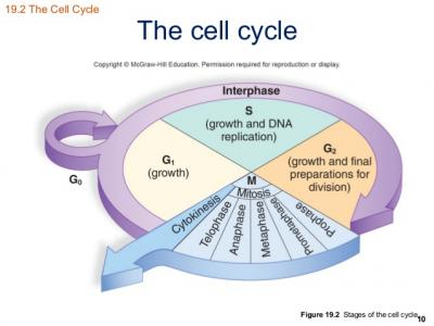 Webquest: Cell Cycle, Dna Replication, Mitosis, Meiosis