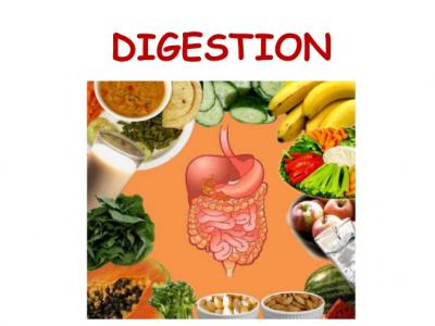 Digestion In The Human Body