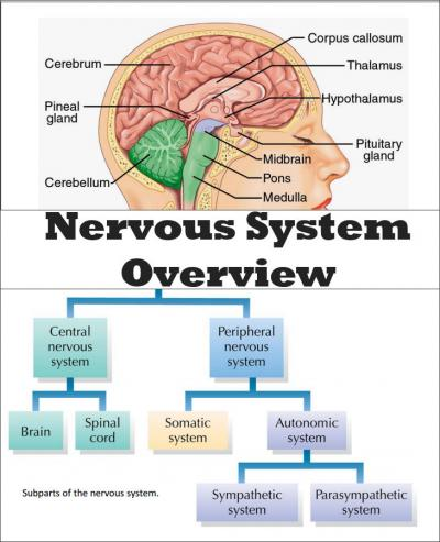 Nervous System Structure