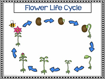 Flowers Life Cycle